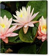 Triplet Water Lilies Canvas Print