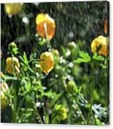 Trollius Europaeus Spring Flowers In The Rain Canvas Print
