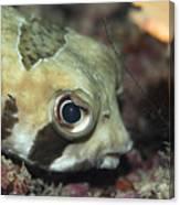Tropical Fish Porcupinefish  Canvas Print