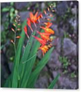 Tropical Orange Lily Canvas Print