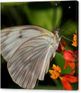 Tropical White Butterfly Canvas Print