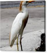 Trump Egret Canvas Print