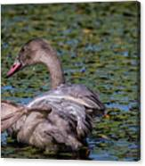 Trumpeter Swan Foot Wave Canvas Print