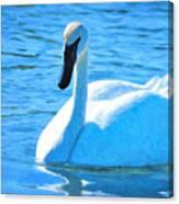 Trumpeter Swan Impressions Canvas Print
