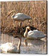 Trumpeter Swan Morning Canvas Print