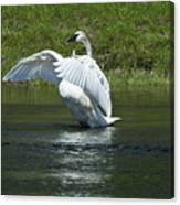 Trumpeter Swan On The Madison River Canvas Print