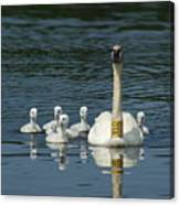 Trumpeter Swan With Cygnets Canvas Print