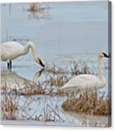 Trumpter Swans 8182 Canvas Print