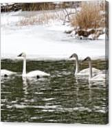 Trumpter Swans Panorama Canvas Print