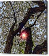 Trunk Of A Cherry Tree Blooming With White Flowers Canvas Print
