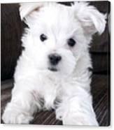 Tsheyka The Maltese Pup Canvas Print
