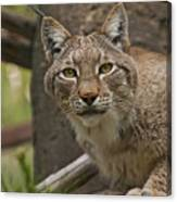Tufted Russian Lynx Canvas Print