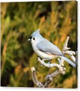 Tufted Titmouse On A Branch Canvas Print