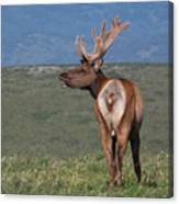 Tule Elk Bull Bugling Canvas Print