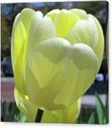 Tulip 0761 Canvas Print