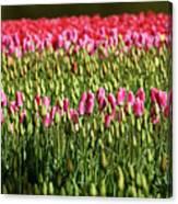 Tulip-1 Canvas Print