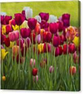 Tulip Bed  0117op Canvas Print