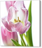 Tulip Bloom 3 Canvas Print