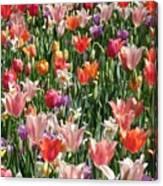 Tulip Delight 4 Canvas Print