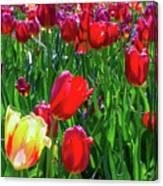 Tulip Garden In Bloom Canvas Print