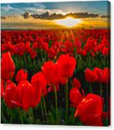 Tulip In Sunset Canvas Print