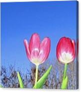 Tulip Panorama Canvas Print