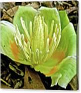 Tulip Poplar Flower - Liriodendron Tulipifera Canvas Print