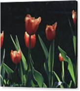 Tulip Red Flair Canvas Print