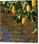 Tulip Reflections Canvas Print