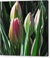 Tulip Series 3 Canvas Print