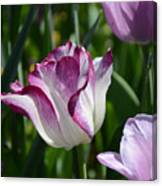 Tulip Splendor Canvas Print