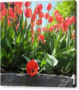 Tulipes Tulipe Canvas Print