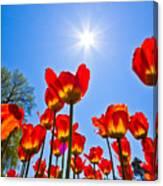 Tulips At Ottawa Tulips Festival Canvas Print
