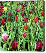 Tulips Blooming Canvas Print