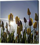 Tulips Blooming With Sun Star Burst Canvas Print