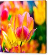 Tulips Enchanting 16 Canvas Print