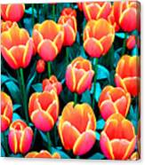 Tulips In Holland Canvas Print