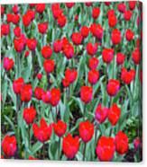 Tulips In Kristiansund, Norway Canvas Print