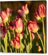 Tulips In Public Garden Canvas Print