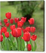 Tulips In Spring 3 Canvas Print