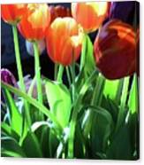 Tulips In The Light Canvas Print