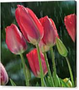 Tulips In The Rain Canvas Print