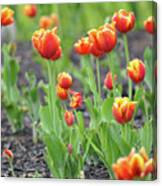 Tulips In The Springtime Canvas Print