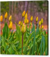 Tulips Love Canvas Print