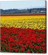 Tulips Of The Skagit Valley Canvas Print