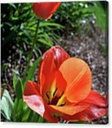 Tulips Wearing Orange Canvas Print