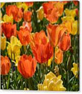 Tulips Yellow And Tangerine Canvas Print