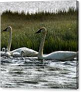 Tundra Swans And Cygents Canvas Print