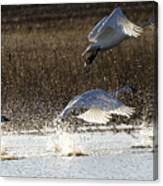Tundra Swans Take Off 2 Canvas Print