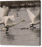 Tundra Swans Take Off Canvas Print